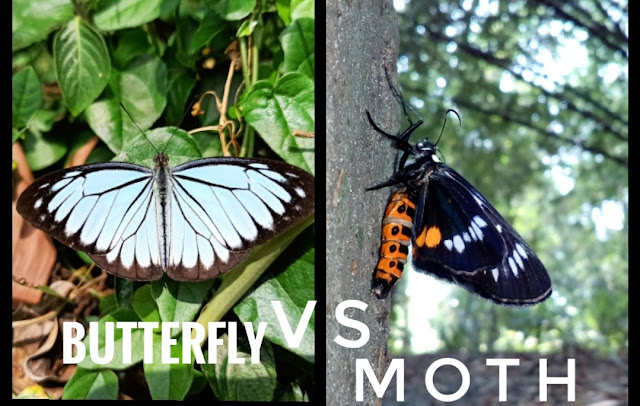 Differences-between-butterfly-and-moth