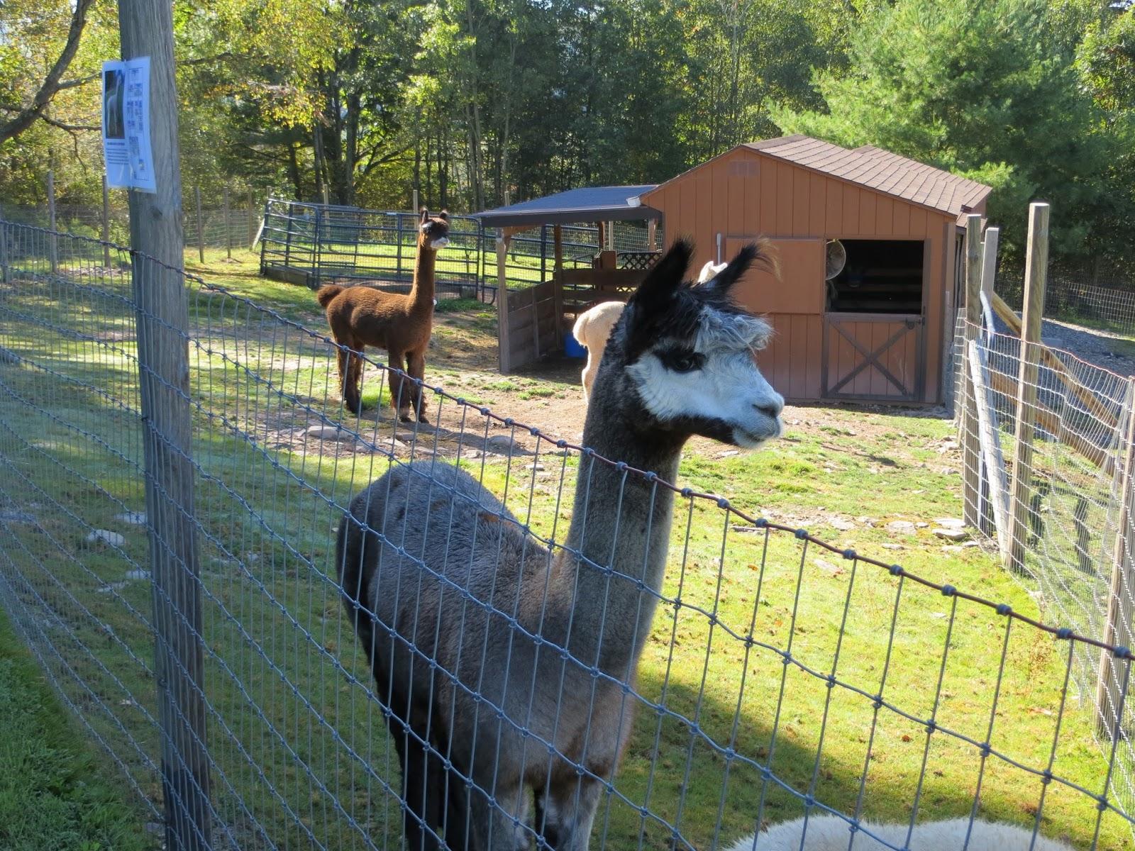 Linda 39 s blog alpaca farm days at rock garden alpacas for Alpaca view farm cuisine