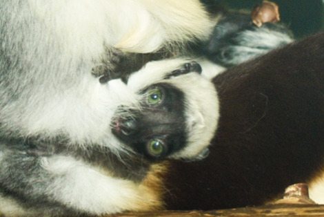 Baby Animals: Tiny sifaka lemur 2