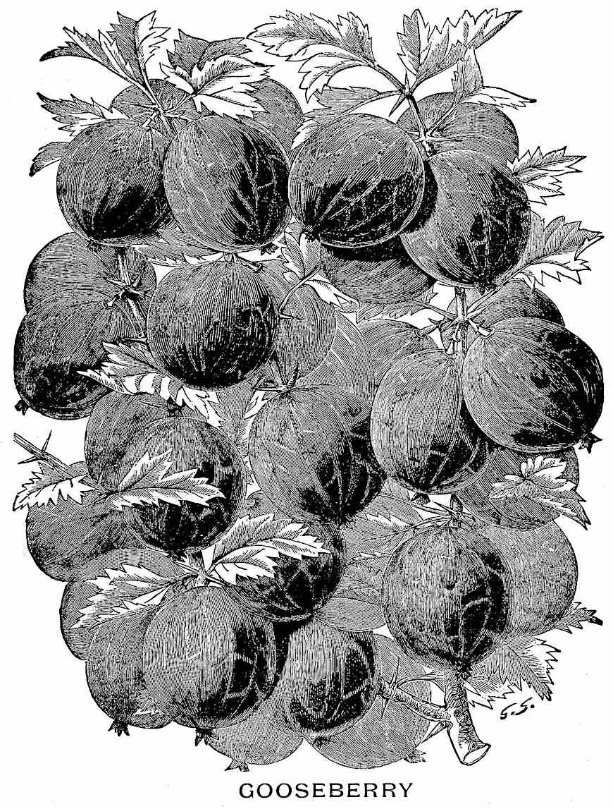 an illustration of 1888 gooseberries