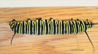 Monarch caterpillar with more black stripes - © Denise Motard