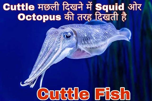 Cuttle मछली क्या है और ये किस तरह दिखती है ?