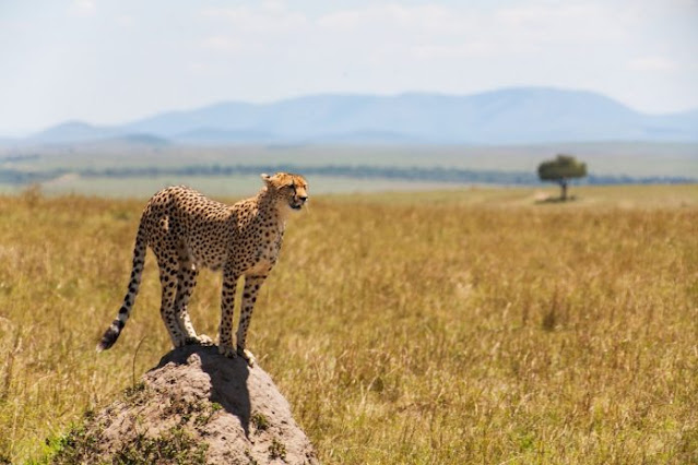 guepardo en serengeti Tanzania