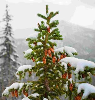 хвоя елка шишки снег