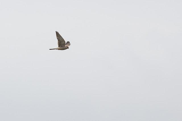 Eurasian Kestrel in Flight