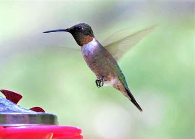Photo of Ruby-throated Hummingbird at feeder