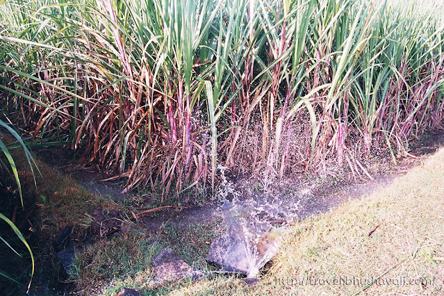 Dharmapuri Village Tourism in South India - Sugarcane plantation
