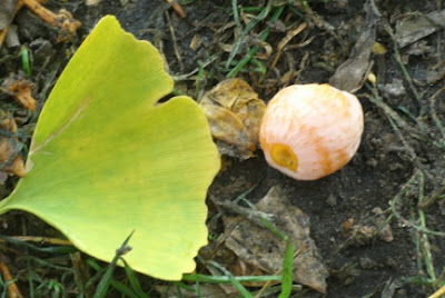 fall gingko biloba leaf and fruit allan gardens paul jung toronto organic ecological gardening services