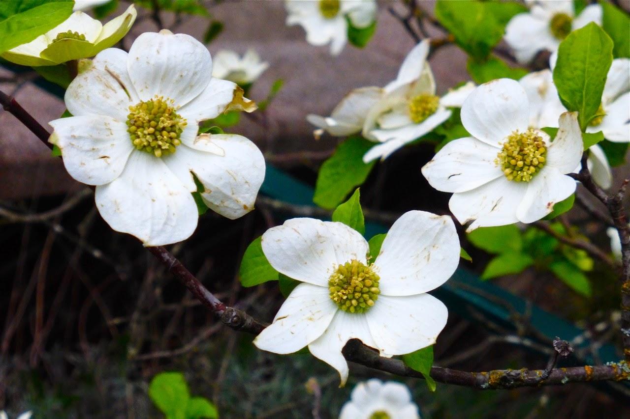 spring, spring 2015, magnolia, magnolia flowers, magnolia blossoms, spring campus stroll, spring campus walk