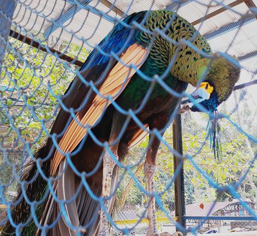 Burung merak di Bumi Kedaton Resort Bandar Lampung