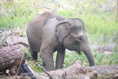 Tata Koridor Gajah, Kementerian SDA dan NGO Siapkan Dana untuk Konservasi Gajah di Tebo