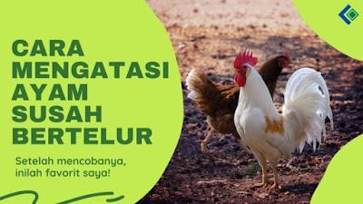Cara Mengatasi Ayam Betina Susah Bertelur : Mandul