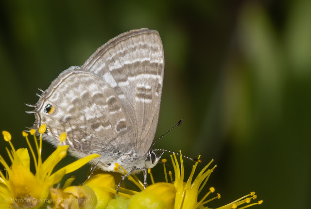 Small butterfly with Canon Speedlite Flash