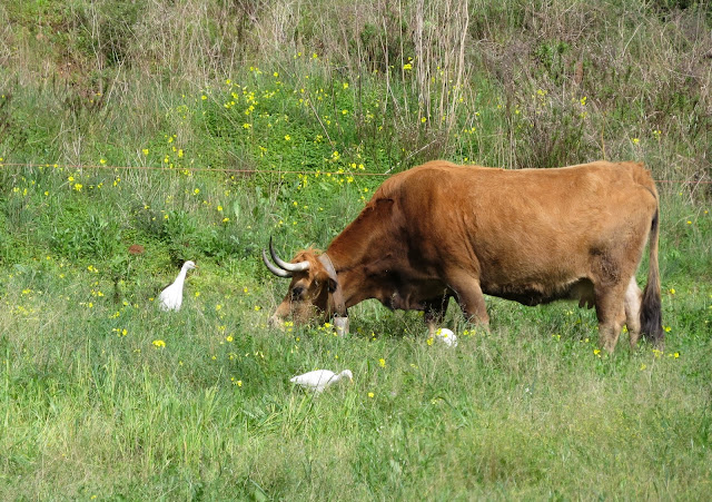 Cattle Egrets - Portugal