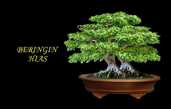 Budidaya beringin sebagai tanaman hias, Cara membuat bonsai Beringin, Cara menanam pohon beringin hias, Cara Menanam Tanaman Hias, Menanam Tanaman Hias,