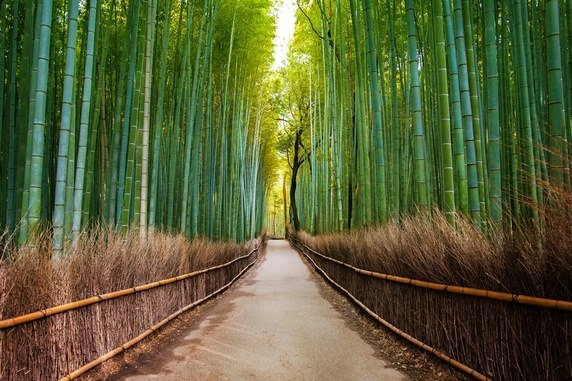 Arashiyama Bamboo Grove in Kyoto in Japan