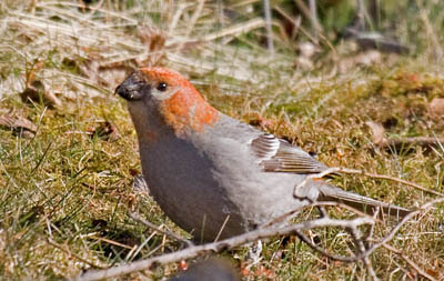 Photo of Pine Grosbeak on ground