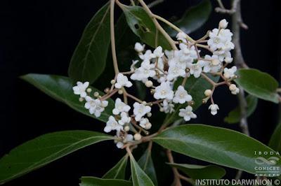arboles de la selva paranaense Laurel amarillo (Nectandra lanceolata)