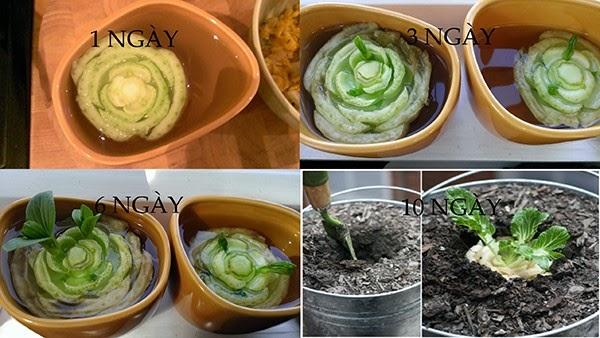 Cải thìa cách trồng rau sạch tại nhà
