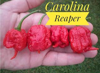 Jual Cabe Unik Carolina Reaper