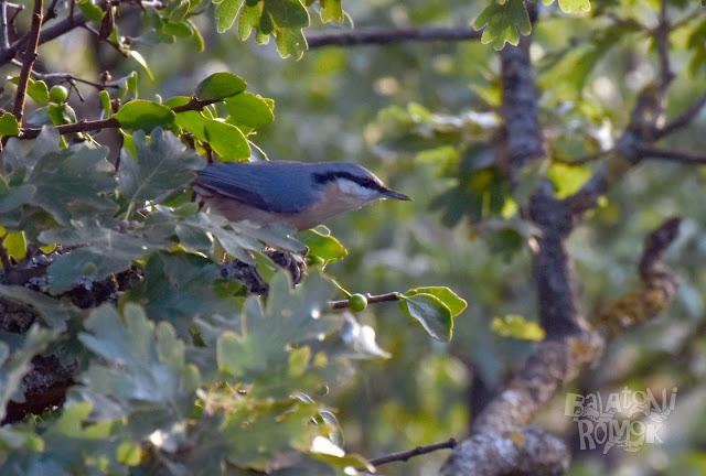 Egy csuszka madár a tölgyfa lombjai között. Háta acélkék/szürkés, begye lazacszínű. Arcán fekete és fehér csík.