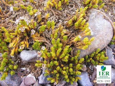 flora de la puna Xenophyllum rosenii