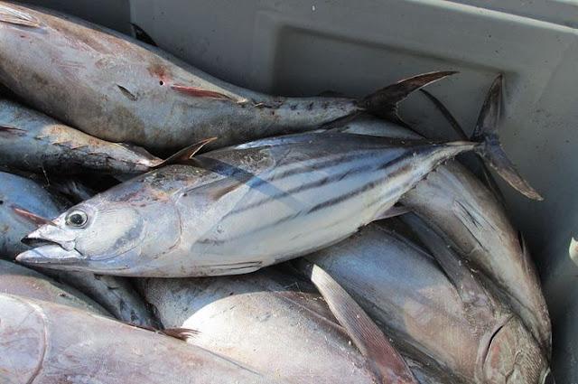 Daerah Penghasil Ikan Tuna