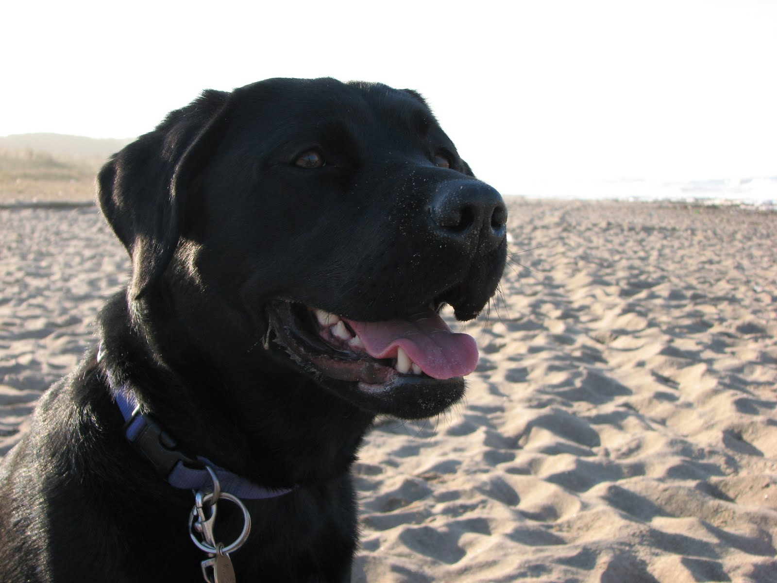Animals: Black Labrador Dog