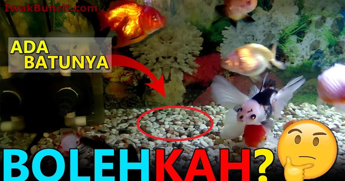 Bolehkah Menaruh Batu Mainan Dan Tanaman Hias Di Aquarium Ikan Mas Koki