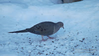 Mourning dove eats sunflower seeds from seed feeder hung above - PEI, Canada