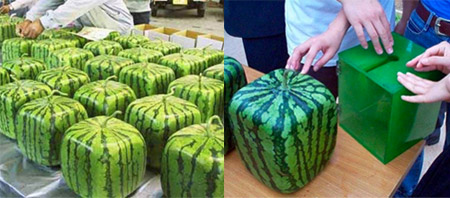 Semangka yaitu tumbuhan yang merambat berasal dari tempat setengah gurun di Neara Afrika  Buah Semangka