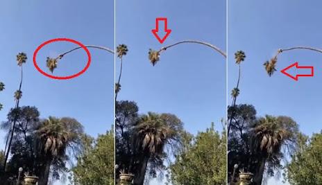 Viral penebang pohon palem