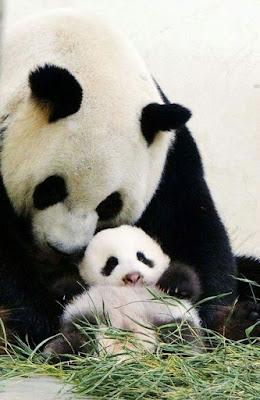 Tierna imagen de osa panda con su cria bebe