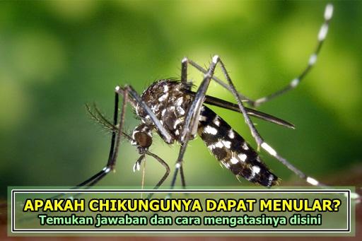 Apakah Penyakit Chikungunya Dapat Menular Kepada Orang Lain