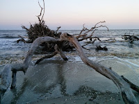 An oak tree laying on its side on the beach. The roots can be seen sticking out of the water.