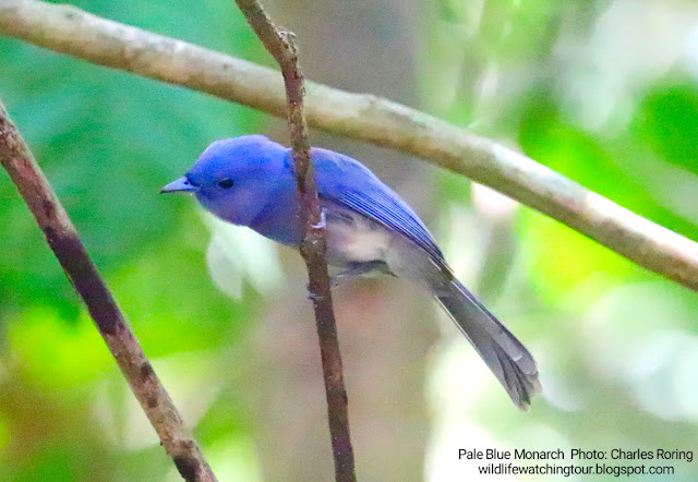 Pale Blue Monarch in Maleo Tambun Conservation North Sulawesi