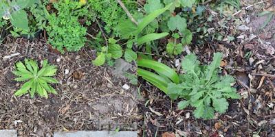 New plants for Cornish Stripe