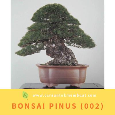 Bonsai Pinus (002)