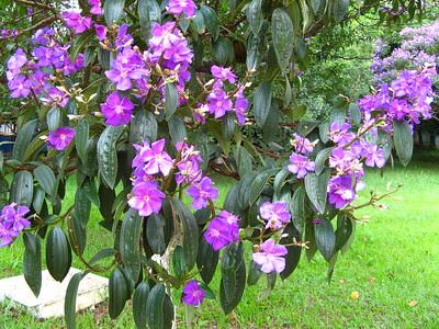 flores_da_quaresmeira