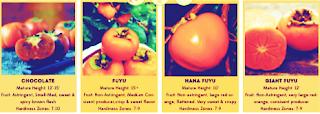 persimmon tree types