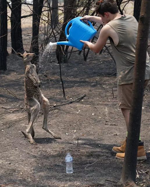 Young Kangaroo Seeks Help From Teenager After Being Burnt In Bushfires