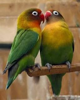 Cara Merawat Burung Lovebird Agar Selalu Berkicau, Burung berkicau, Lovebird Juara, Lovebird Berminta Juara