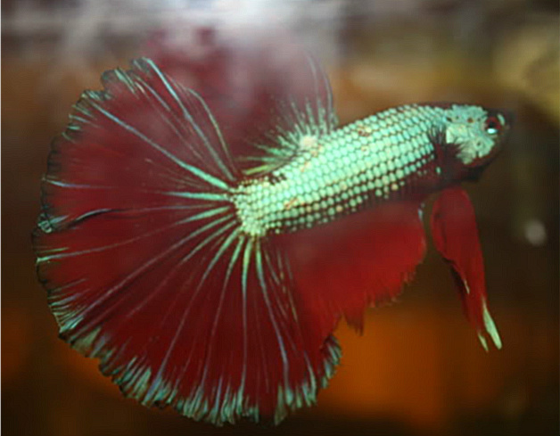 Betta Fish Tail Types and Patterns   Betta Fish Questions