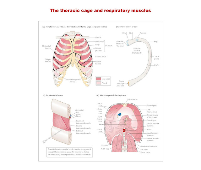 The Thoracic Cage And Respiratory Muscles, Thoracic cage, The sternum, The ribs and intercostal space, The diaphragm, Muscles of respiration,