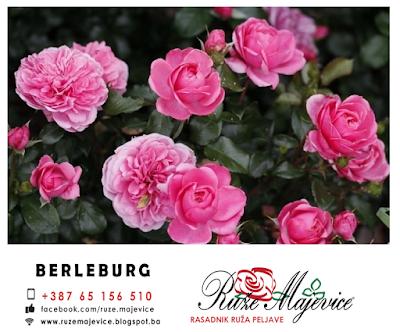 Roze ruža Berleburg