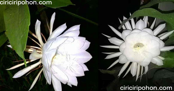 ciri ciri pohon bunga wijaya kusuma