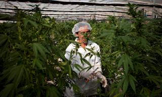 Israel Approves Recreational Use Of Marijuana 1