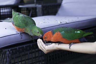 Parrots care