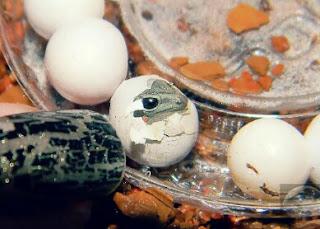 Menetaskan telur gecko