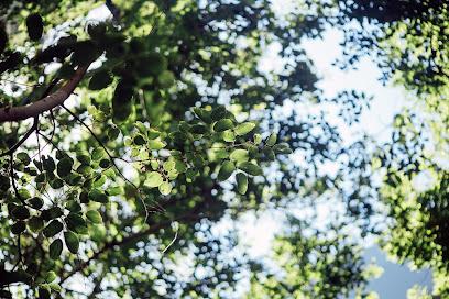 senna leaves.